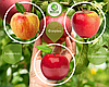 Дерево-сад Яблуня Слава Переможцям + Флоріна + Джонаголд (1 саджанець, 3 щеплення)