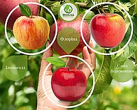 Дерево-сад Яблуня Слава Переможцям + Флоріна + Джонаголд (1 саджанець, 3 щеплення), фото 1