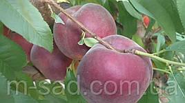 Саженцы персика Свит Дрим ,2х летка