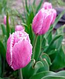 Тюльпан Fringed Family (Фрингет Фемілі) оторочений 3 цибулини, фото 4