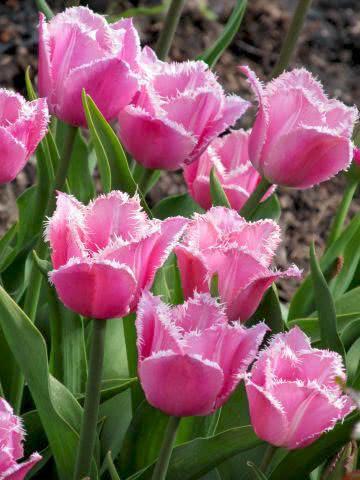 Тюльпан Fringed Family (Фрингет Фемілі) оторочений 3 цибулини
