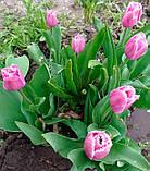 Тюльпан Fringed Family (Фрингет Фемілі) оторочений 3 цибулини, фото 6