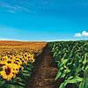 Зустрічайте новий захист насіння від компанії Сингента