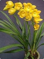 Орхідея цимбідіум Kusuda fantasy горщик 2.5, без кольорів, фото 1