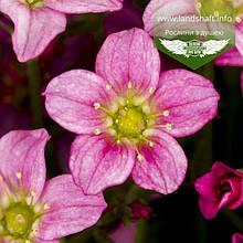 Saxifraga 'Alpino Early Rose', Ломикамінь 'Альпіно Ерлі Роуз',C2 - горщик 2л