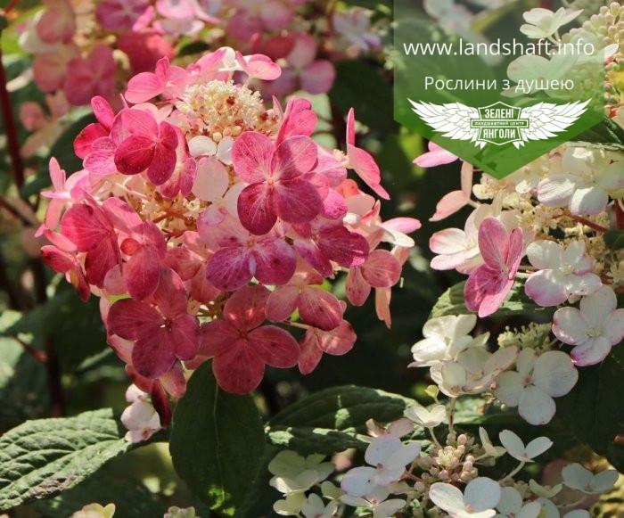 Hydrangea paniculata 'Little Quick Fire', Гортензія волотиста 'Літл Квік Файр',P7-Р9 - горщик 9х9х9