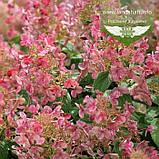Hydrangea paniculata 'Little Quick Fire', Гортензія волотиста 'Літл Квік Файр',P7-Р9 - горщик 9х9х9, фото 2