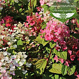 Hydrangea paniculata 'Little Quick Fire', Гортензія волотиста 'Літл Квік Файр',P7-Р9 - горщик 9х9х9, фото 4