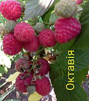 Малина Октавия - поздний сорт. Транспортабельная крупная ягода. Саженцы малины с ОКС