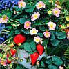 "КЛУБНИКА КРУПНОПЛОДНАЯ ""ПИКАН"" (Strawberry ""pikan"")"