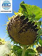 Гібрид стійкий до ЕвроЛайтнінгу ЕКВАТОР. Соняшник урожайний 42ц / га, олія 50%, посуха 9 балів ЕКВАТОР