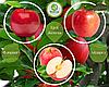 Дерево-сад Айдаред + Флоріна + Женева Ерлі (1 саджанець, 3 щеплення)