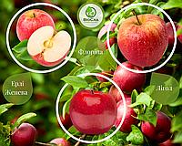 Дерево-сад Яблуня Флоріна + Ерлі Женева + Лігол (1 саджанець, 3 щеплення), фото 1
