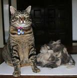Фурминатор Short Hair Large Cat - ширина лезвия 6,8 см. (для короткошерстных кошек), фото 8
