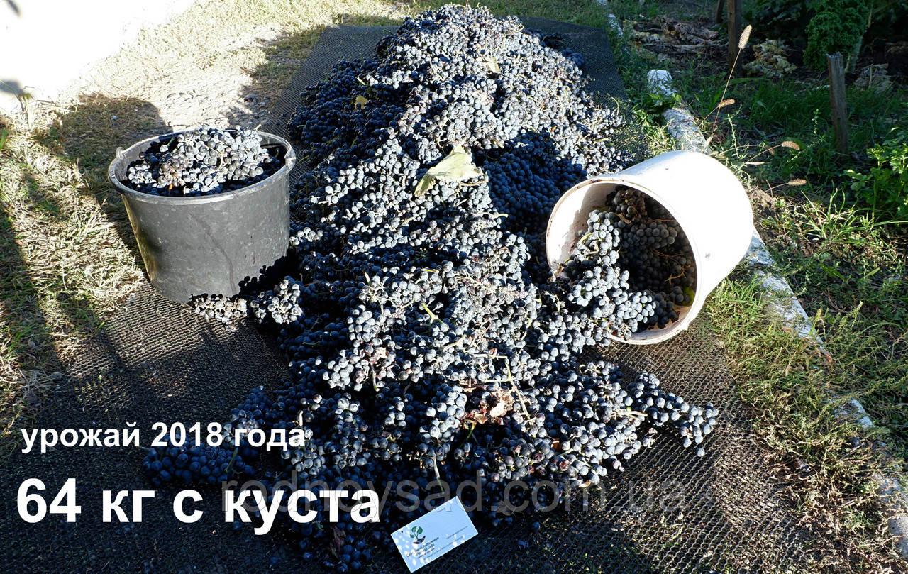 "Виноград""Каберне-совиньон""саженцы"