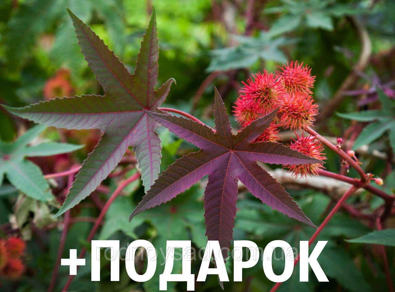Клещевина обыкновенная семена (20 шт) (Ricinus commúnis) +подарок