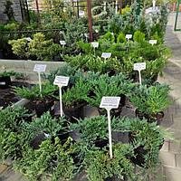 Нове надходження хвойних рослин в контейнерах, власного виробництва!