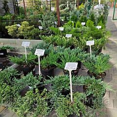 Новое поступление хвойных растений в контейнерах, собственного производства!