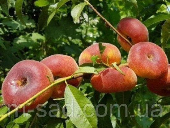 Саженцы инжирного персика Бельмондо(поздний,низкорослый)