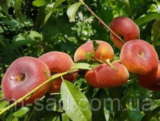 Саженцы инжирного персика Бельмондо(поздний,низкорослый), фото 2