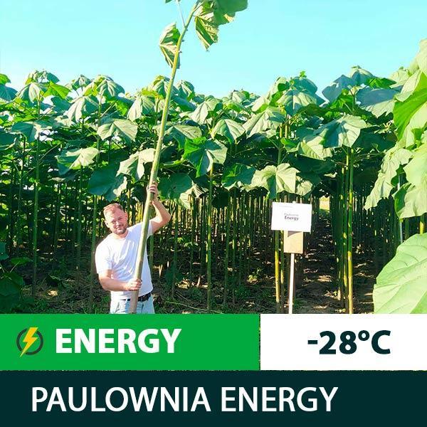 Однорічні саджанці Павловнії Energy (1.5 м.—2 м.) invitro