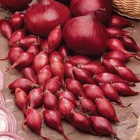 Лук севок Ред Барон весовой (цена за 1 кг), Голландия