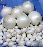 Лук севок озимый Гледстоун весовой (цена за 1 кг), Голландия