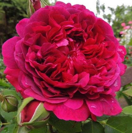 """Саджанці плетистої троянди """"Othello"""" (Отелло)"""