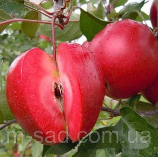 Саджанці красномясой яблуні Ред Кетті.
