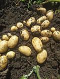 Семенной картофель Аризона 1 репродукция, фото 2