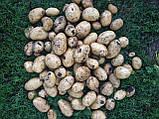 Семенной картофель Аризона 1 репродукция, фото 3