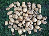 Семенной картофель Аризона 1 репродукция, фото 4