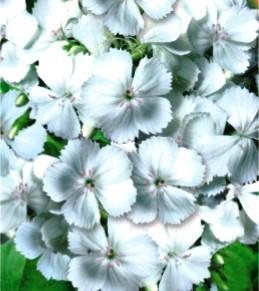 Гвоздика Турецька біла однорічник (імп.), фото 2