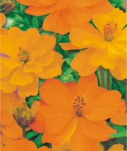 Космея помаранчева Клондайк однорічник, фото 2