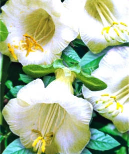 Кобея біла однорічник (імп.), фото 2