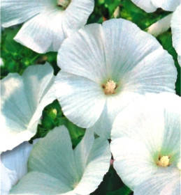 Лаватера белая однолетник (имп.), фото 2