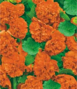 Мальва махровая оранжевая двухлетник, фото 2