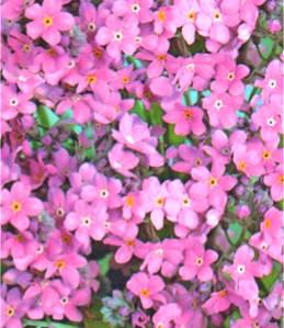 Незабудка рожева багаторічник (імп.), фото 2