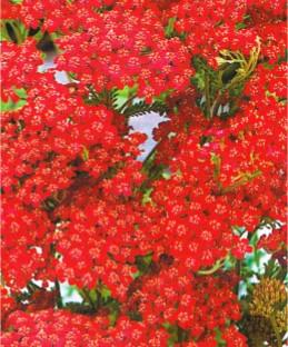 Деревій червоний багаторічник (імп.)