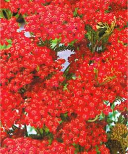 Деревій червоний багаторічник (імп.), фото 2