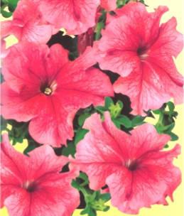 Петуния розовая, фото 2