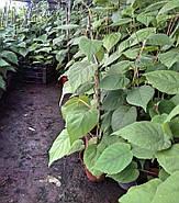 Саджанці ківі Хейворд осінній сорт, фото 2