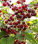 Саженцы вишни Эрди крупноплодной летний сорт, фото 2