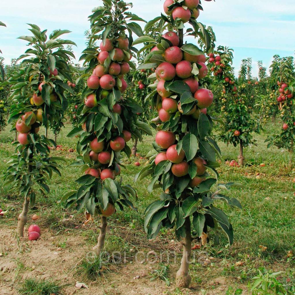Саджанець яблуні Валюта колоновидна зимовий сорт