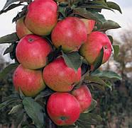 Саджанець яблуні Валюта колоновидна зимовий сорт, фото 2