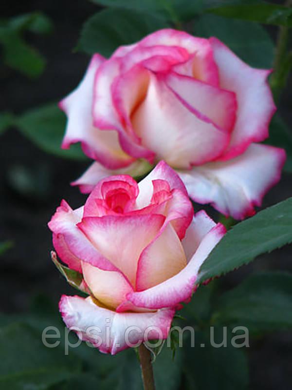 Саженцы розы Белла Вита (Bella Vita)
