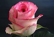 Саженцы розы Белла Вита (Bella Vita), фото 2