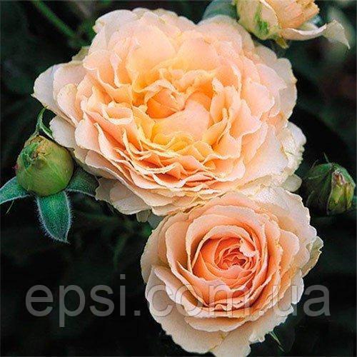 Саженцы розы английской Екскалибур (Excalibur)