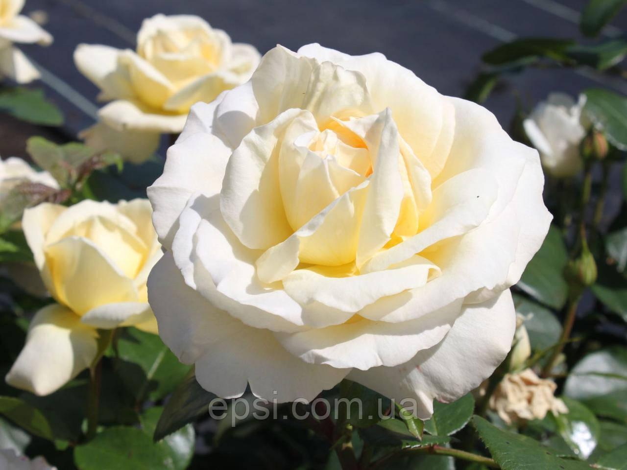 Саженец розы Ла Перла (La Perla)