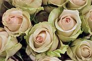 Саженец розы Ла Перла (La Perla), фото 2